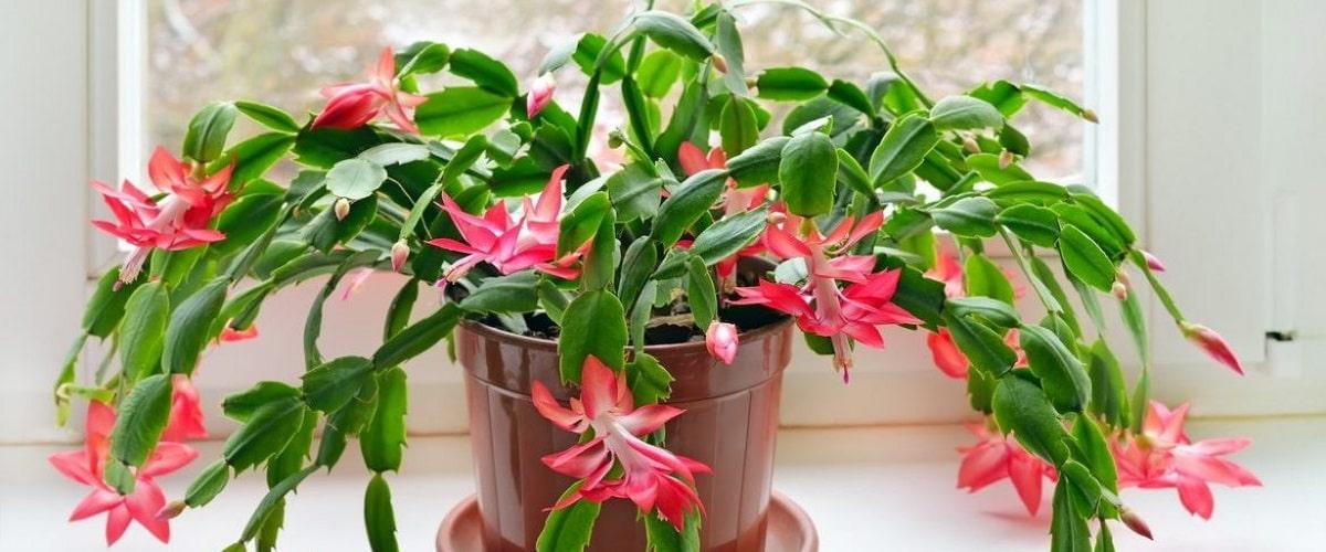 Декабрист шлюмбергера кактус обожающий влагу