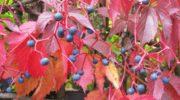 Девичий виноград: посадка и уход