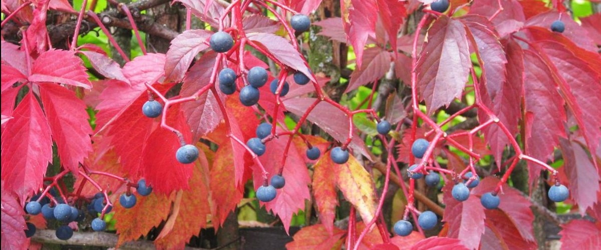 Девичий виноград посадка и уход