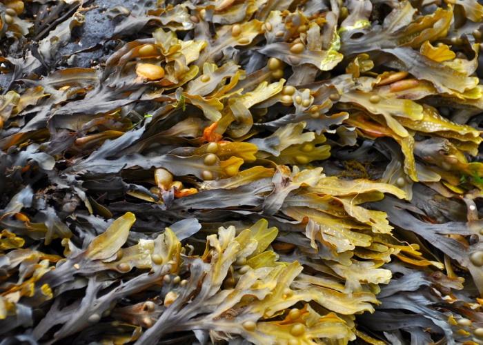 Добыча и переработка водорослей в России привлекла норвежских специалистов