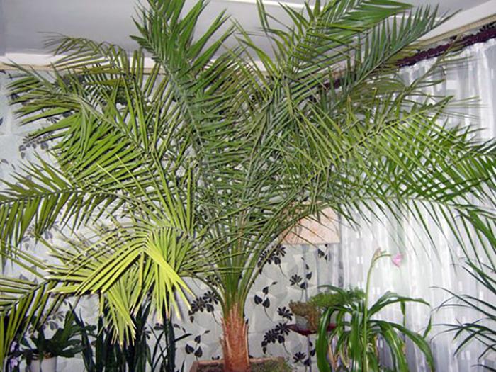финиковая пальма, финик или феникс