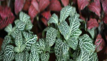 Фиттония: уход за растением и правила выращивания