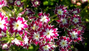 Флоксы однолетние: посадка, выращивание и уход