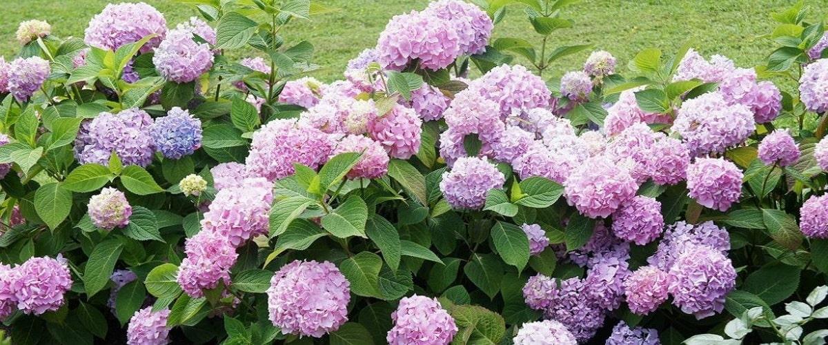 Гортензия садовая посадка и уход за растением