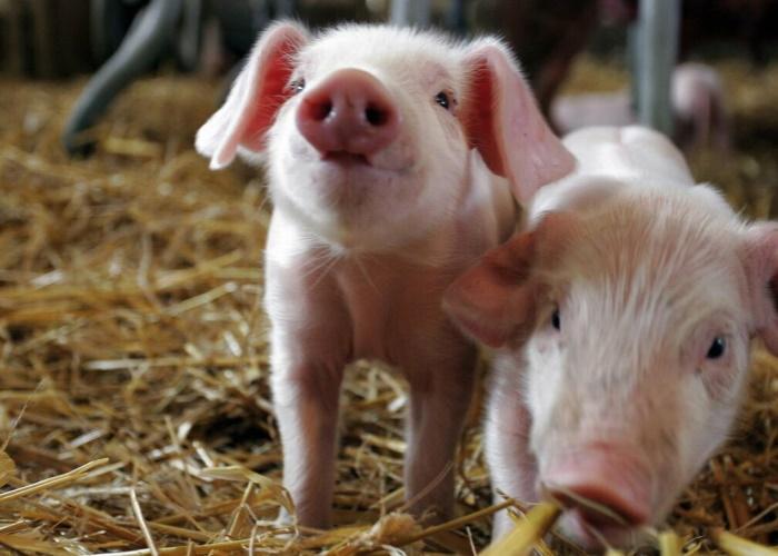 Из-за АЧС в Польше на миллион сократилось поголовье свиней