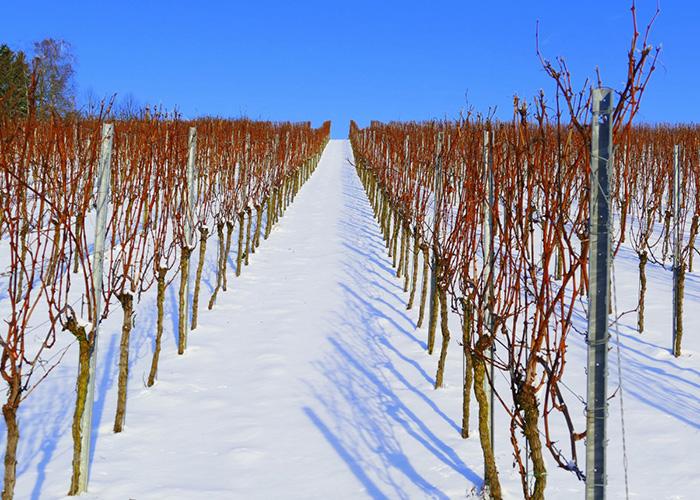 Чем укрыть виноград на зиму в поволжье
