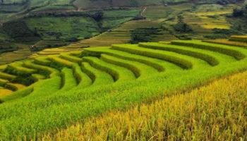 Китайские ученые начали тестировать солеустойчивый рис в холодном климате на границе с РФ