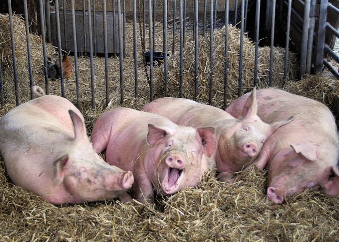Курскую свиноферму закрыли на месяц за антисанитарию