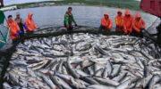 Минсельхоз сообщил обувеличении добычи лососевых впромысловых водах России Об этом сообщает