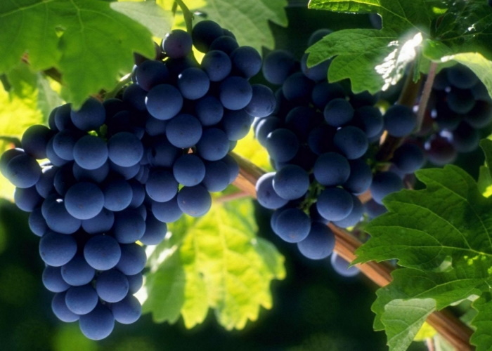 Молдавские производители винограда в отчаянии: что будет с урожаем за этот год