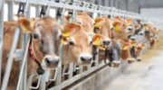Молочная продуктивность выросла в Тамбовской области