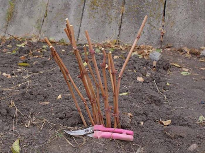 Можно ли высаживать черенки осенью сразу в грунт