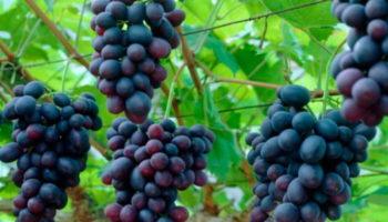 На Кубани собрали 74 тыс.тонн винограда нового урожая