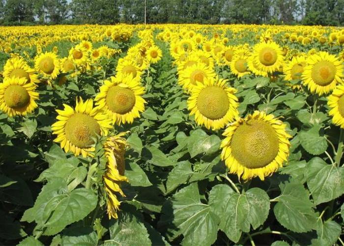 На Кубани урожай подсолнечника превысил миллион тонн