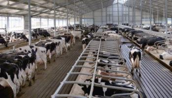 Новый животноводческий комплекс на1,7тыс. коров запущен наСтаврополье