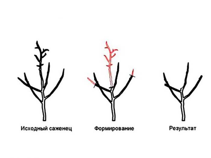 Обрезка плодовых деревьев 4