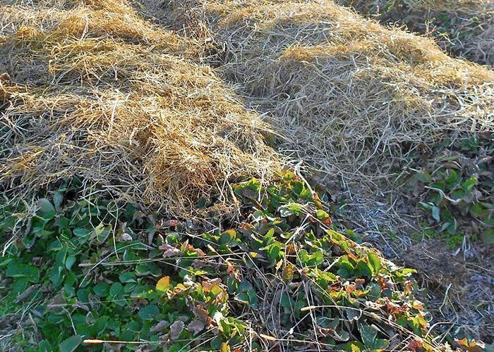 Подготовка клубники к зиме, защита от вымерзания