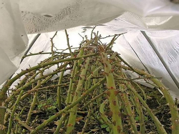 Подготовка роз к зиме: пригибание кустов