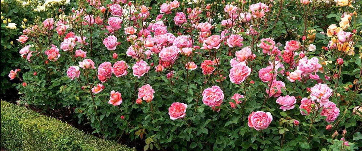 Роза садовая уход на зиму