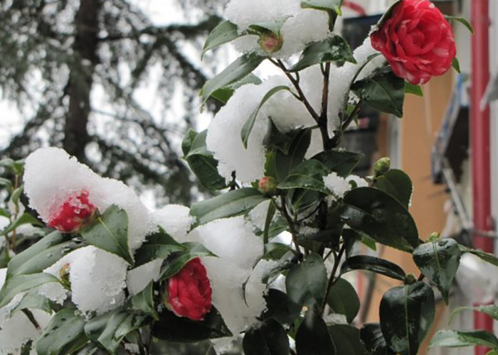 Подготовка роз к зиме: уход осенью, правила обрезки, укрытие на зиму
