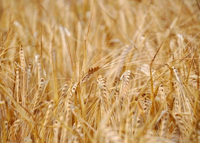 Поставки пшеницы на экспорт из России упали более, чем на 40%