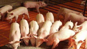 Правильный подход к кормлению свиней