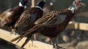 Разведение и содержание фазанов
