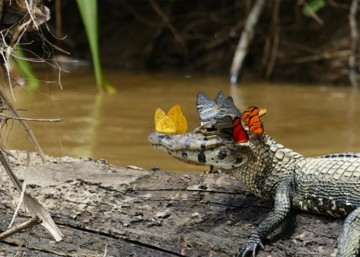 Разведение крокодилов