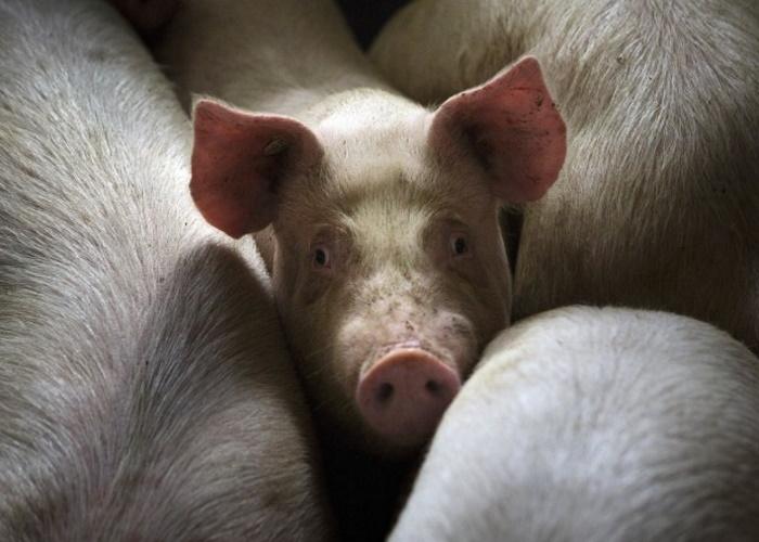 Россельхознадзор запретил импорт свиней из Южной Кореи из-за АЧС