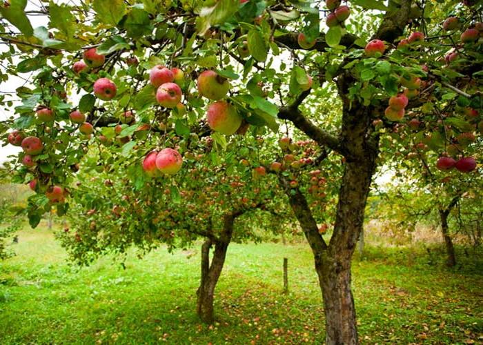 Садоводы Тамбовской области заложат 600 га новых садов