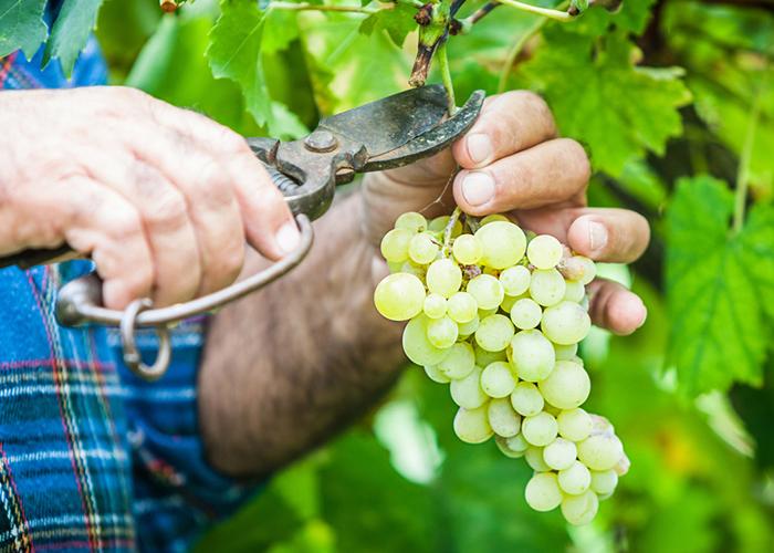 Самые распространенные заблуждения и ошибки виноградарей