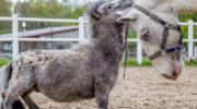 Самый маленький конь в мире