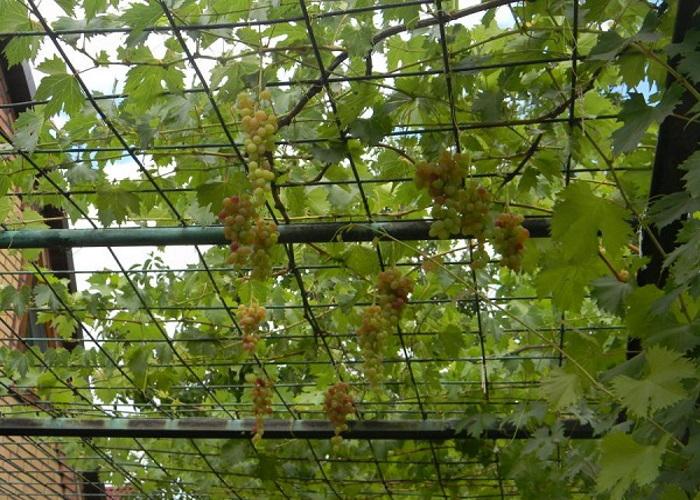 Способы разведения винограда в домашних условиях