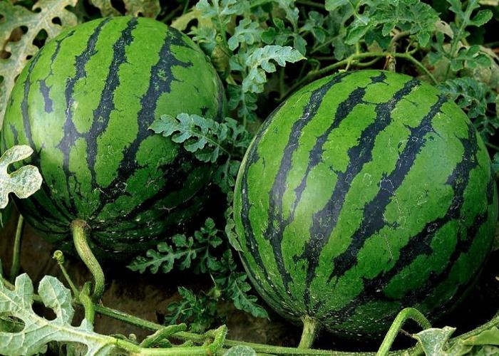 Ставропольский край намерен наращивать производство бахчевых культур