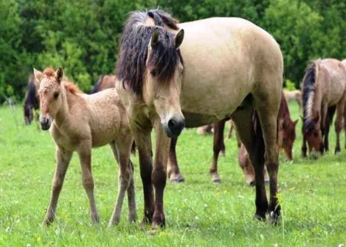 Татарская порода лошадей