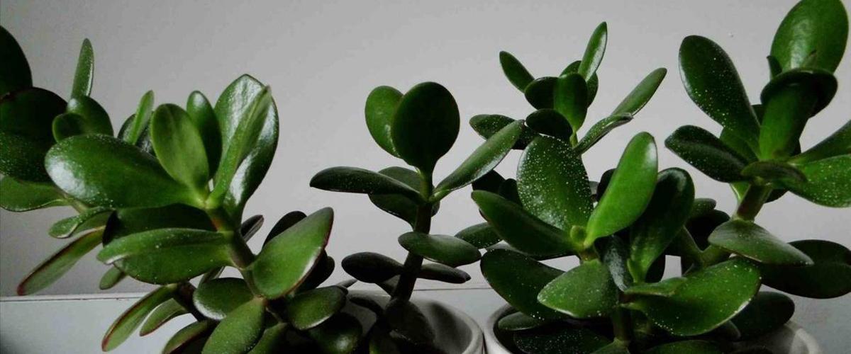 Толстянка или денежное дерево уход и размножение