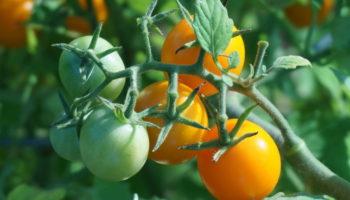 Томаты уникальных для России сортов будут выращивать в теплицах Ставрополья