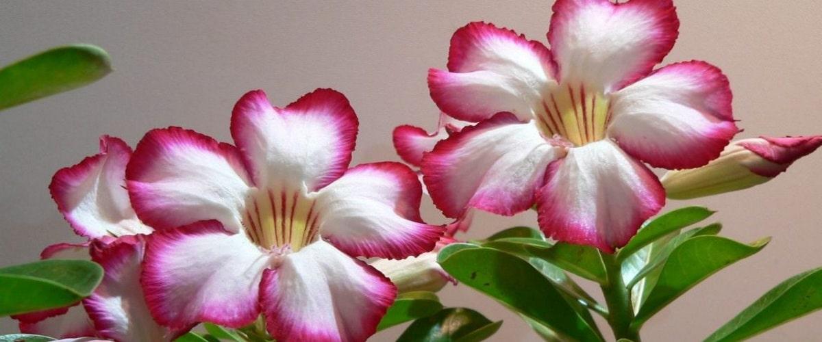 Цветок Адениум пустынный красавец у вас в квартире