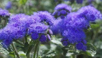 Цветок Агератум: посадка и уход для пушистого цветения