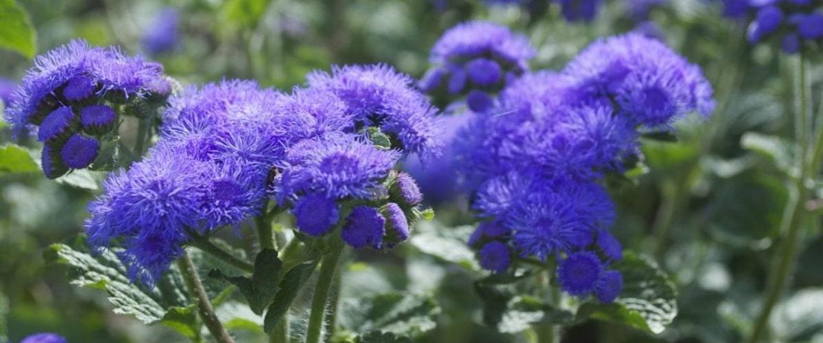 Цветок Агератум посадка и уход для пушистого цветения