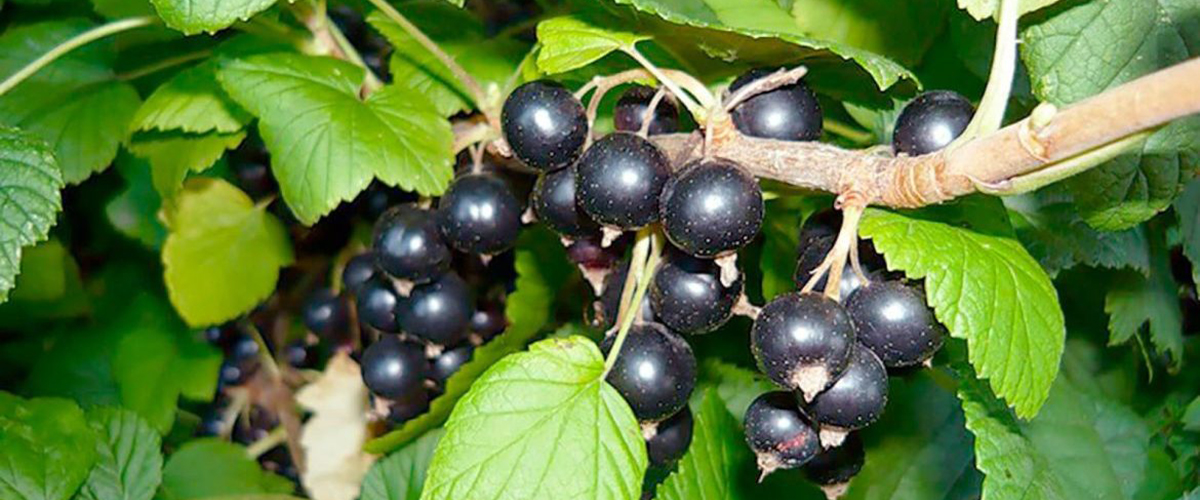 Уход за черной смородиной осенью и подготовка ее к зиме – залог хорошего урожая в следующем сезоне