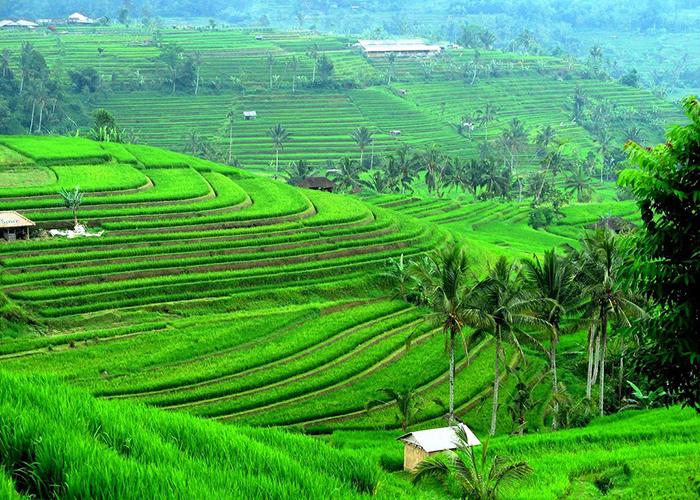 Уникальные рисовые террасы Бали, о которых заботится ООН
