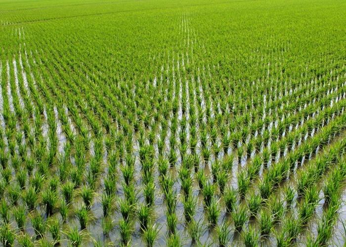 Урожай зерна вКитае вэтом году будет небывалым