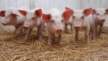 В АПК Курганской области сделают акцент на свиноводство