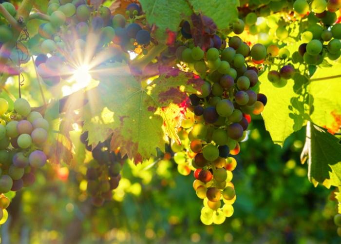 В Чечне делают хорошие прогнозы на урожай винограда и яблок