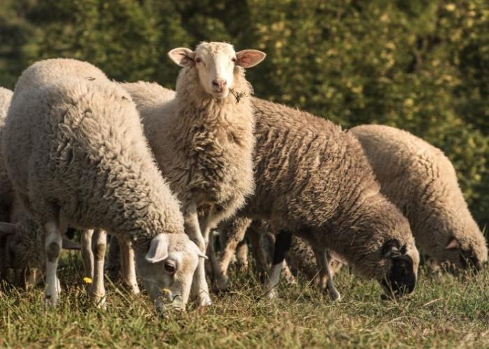 В хозяйствах под Тверью из-за оспы уничтожили овец