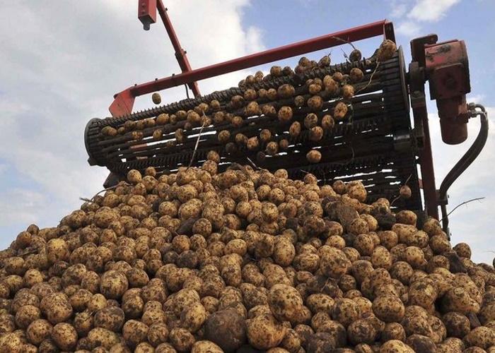 В Калининградской области проходит массовая уборка картофеля и овощей