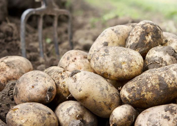 В Магадане вывели уникальный морозоустойчивый сорт картофеля