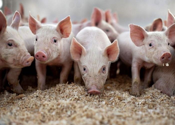 В Новгородской области начато отчуждение свиней из-за АЧС