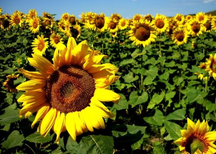 ВПензенской области ожидается рекордный урожай подсолнечника